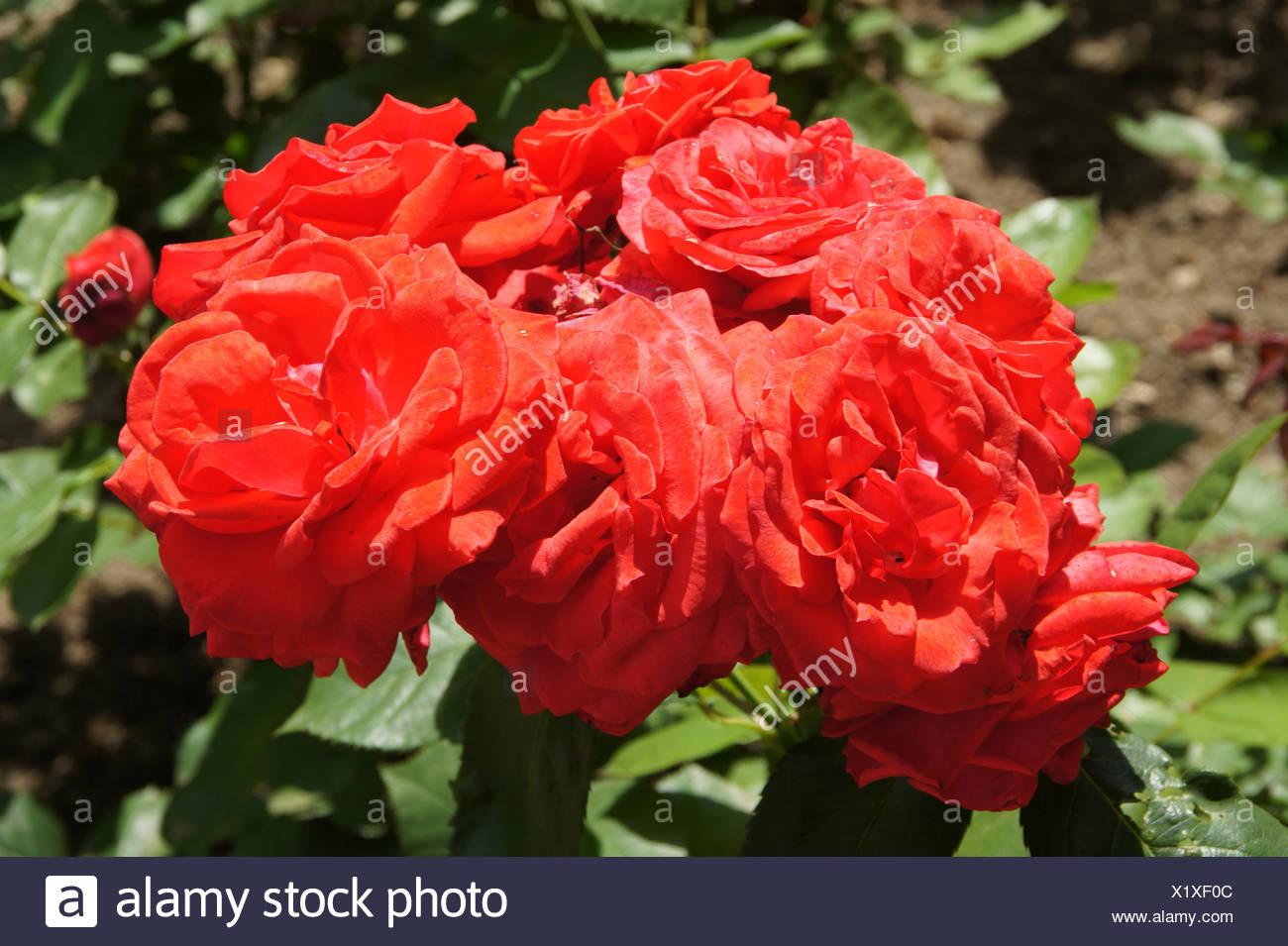 Rosa Neues Europa, Hybrid-rose - Stock Image