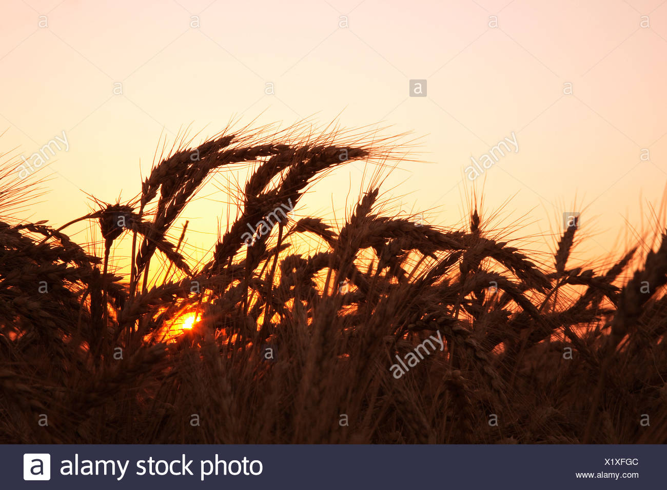 Agriculture - Mature harvest stage soft red winter wheat in late Spring at sunset / Eastern Arkansas, USA. - Stock Image