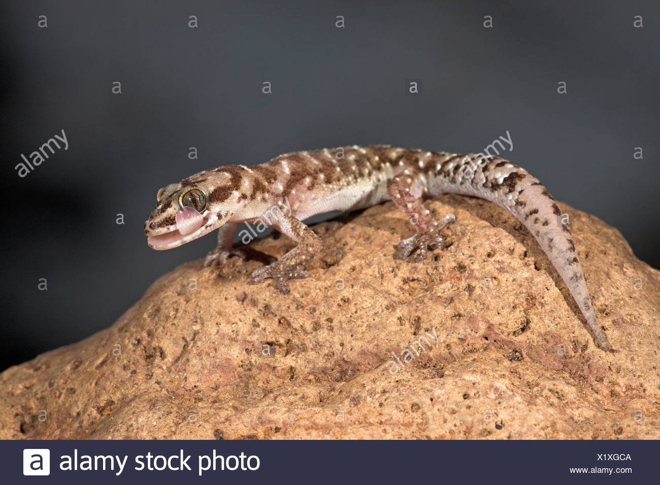 Photo of a Van Son's Gecko licking on its own eye, gecko's dont have eyelids so they have to clean their eyes with their tongue. - Stock Image