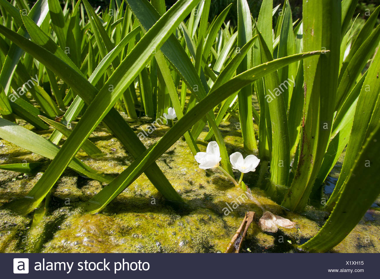 crab's-claw, water-soldier (Stratiotes aloides), blooming, Germany - Stock Image