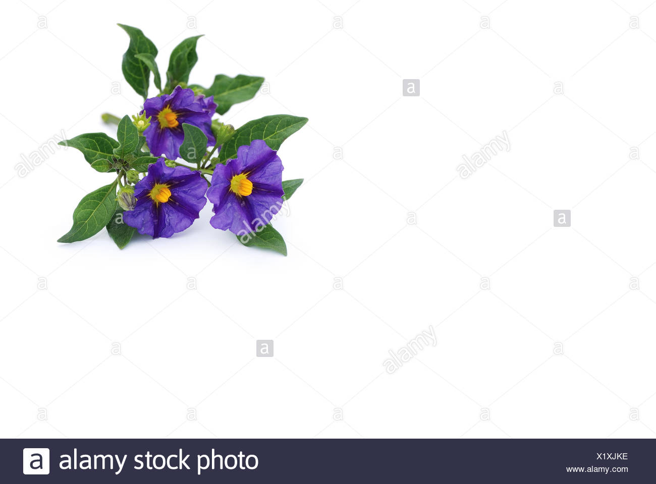 gentian strub isolated on white - Stock Image