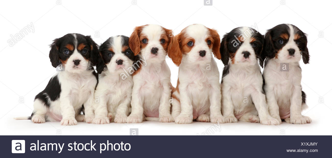 Six Cavalier King Charles Spaniel Puppies Four Tricolour And Two Blenheim Colours Sitting In A Row Stock Photo Alamy