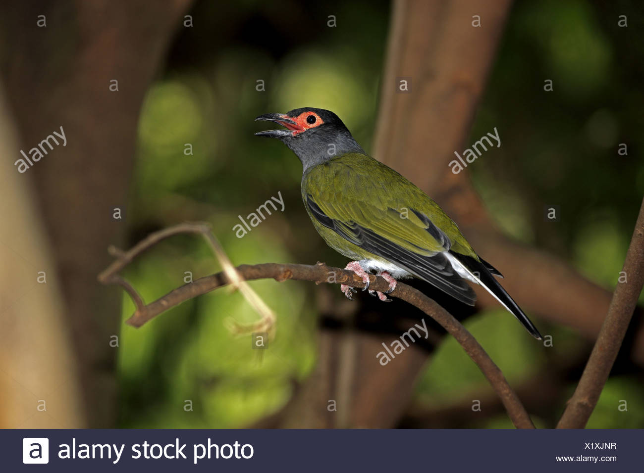 Green Figbird (Sphecotheres viridis) adult male, calling, perched on twig, Australia Stock Photo