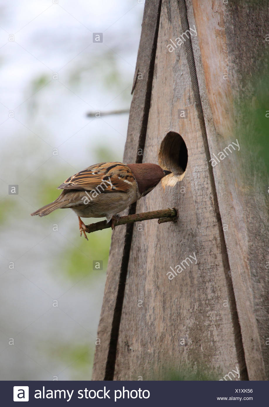 Breeding place searches field sparrow (Passer montanus), - Stock Image