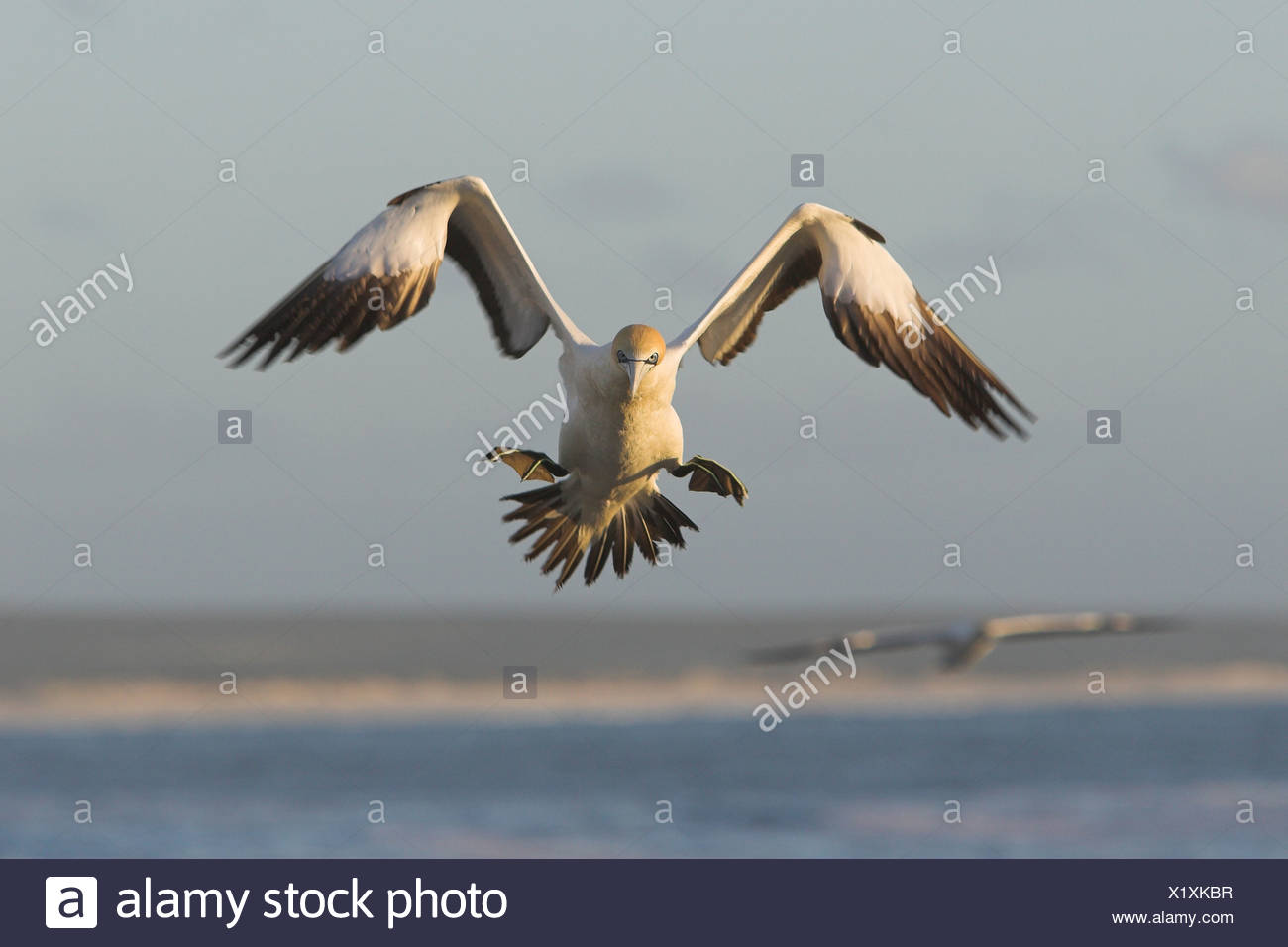 Cape gannet (Morus capensis), landing, South Africa - Stock Image