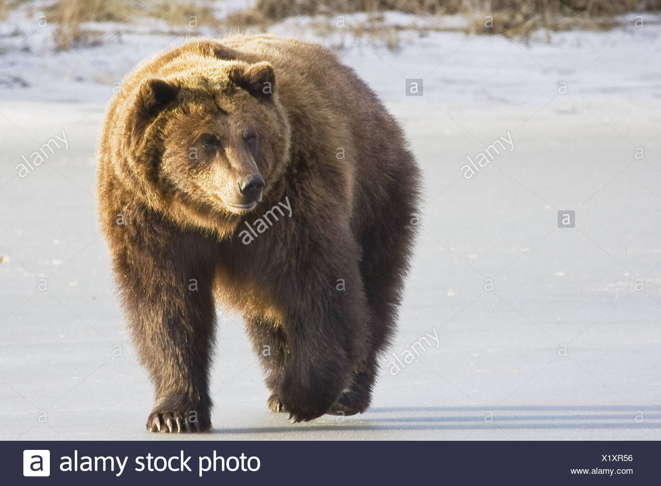 CAPTIVE Grizzly walking in snow At the Alaska Wildlife Conservation Center - Stock Image