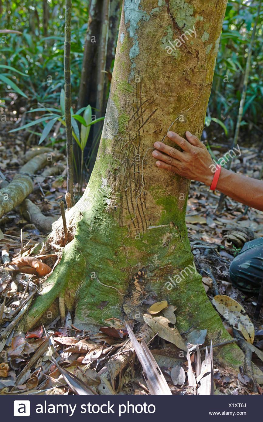 Jaguar claw marks on a tree trunk - Amazonia Brazil - Stock Image