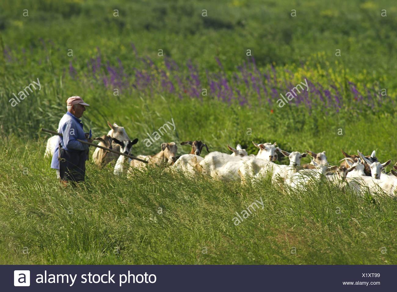 Domestic Goat Capra Hircus Herdsman With Herd In Meadow Bulgaria