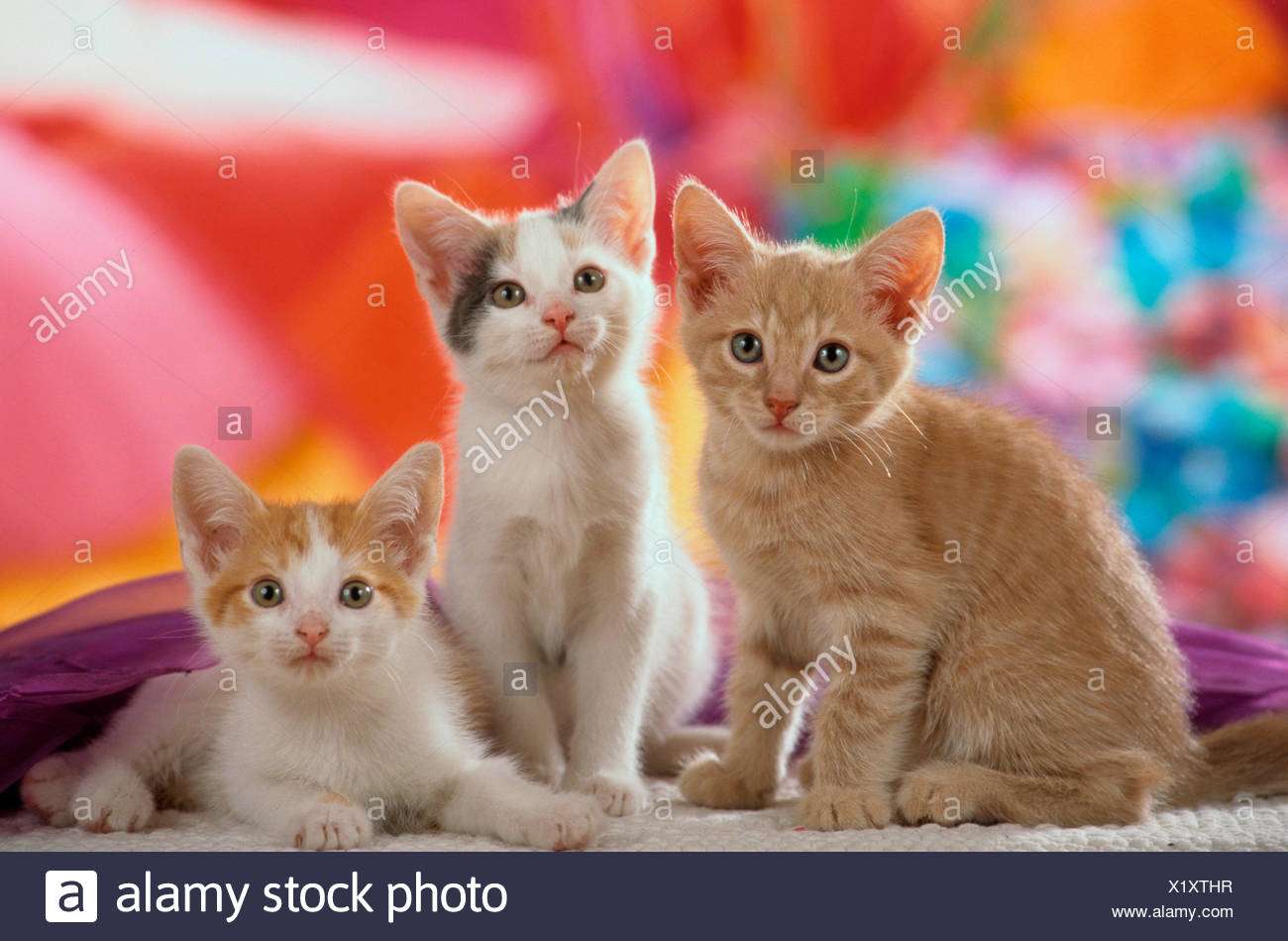 Domestic cat Three kittens front multicoloured background - Stock Image
