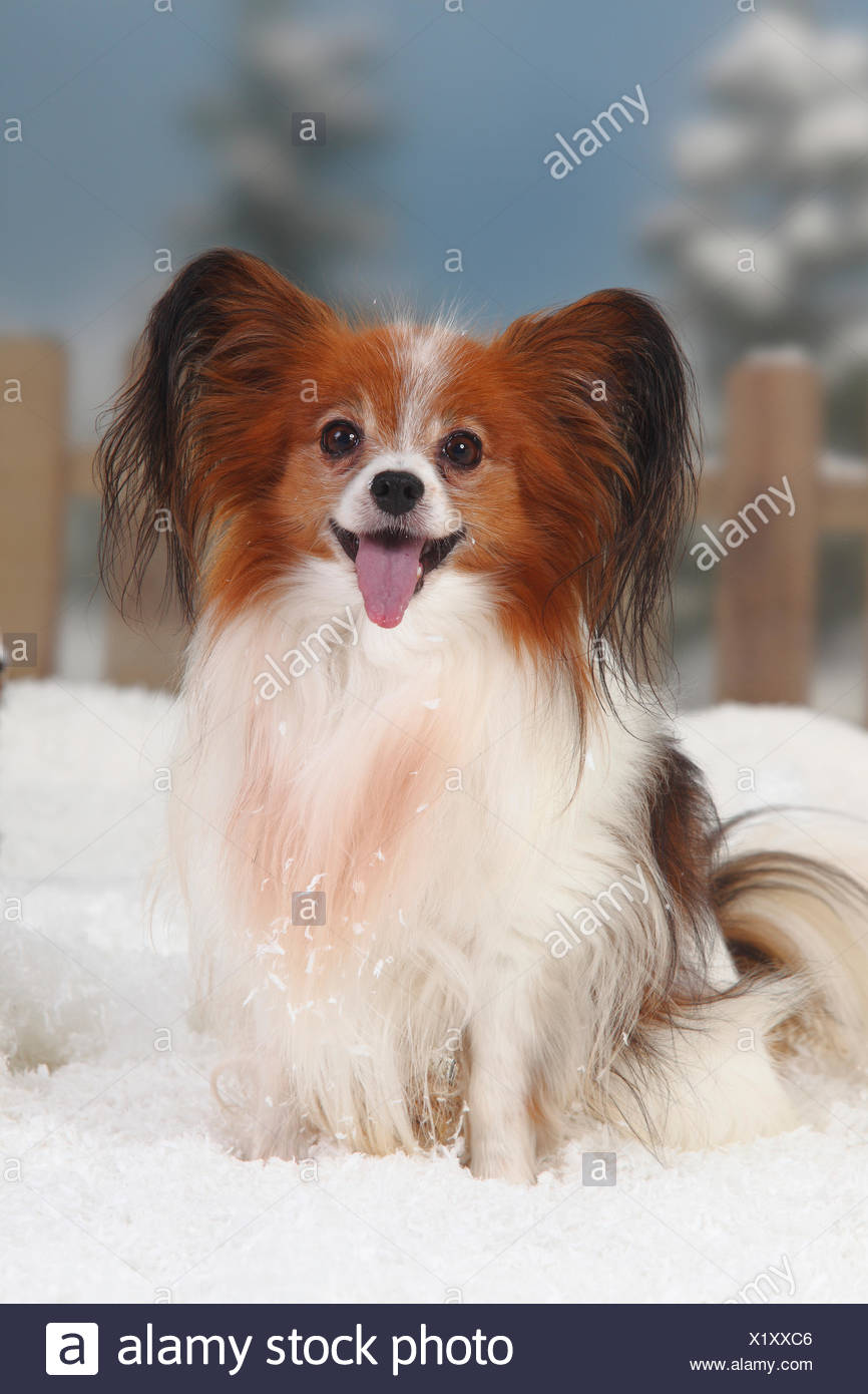 Papillon / Continental Toy Spaniel / Butterfly Dog, portrait sitting in snow, panting, with picket fence behind - Stock Image