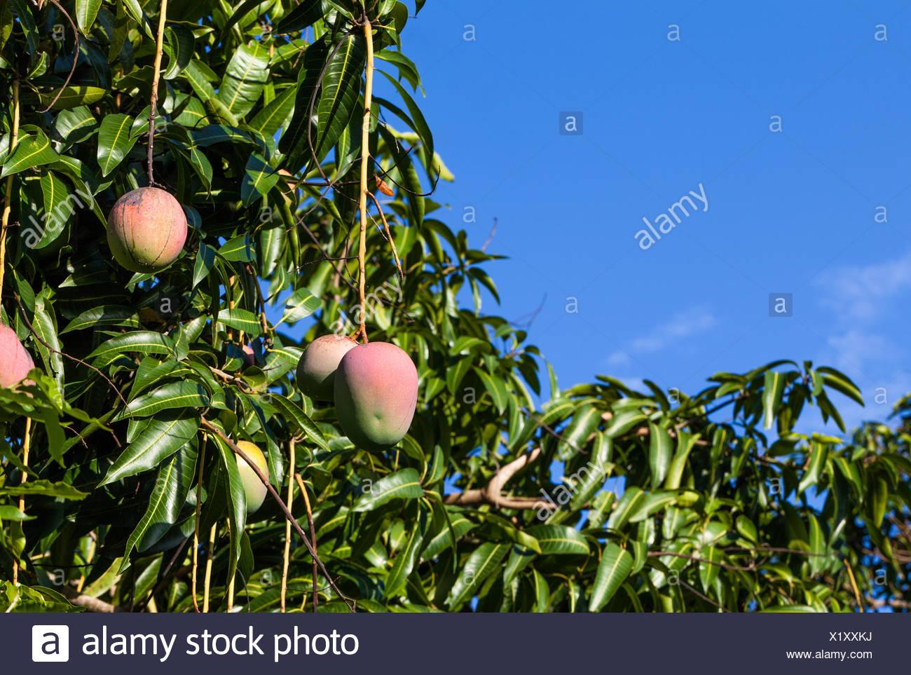 Cuba Mango tree with fruits Stock Photo