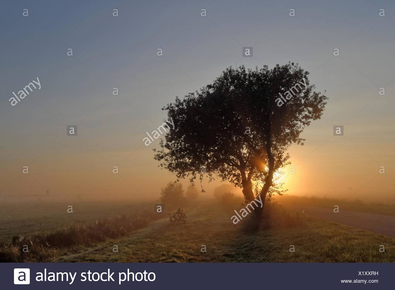 Germany, Lower Saxony, Leer, Oldersum, Tergast, Tree in meadow backlit by rising sun - Stock Image