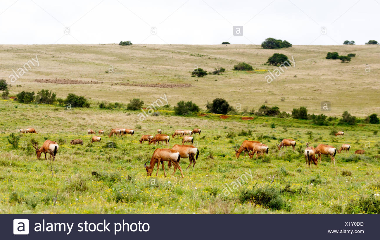 Huge Tribe of Red Hartebeests - Stock Image