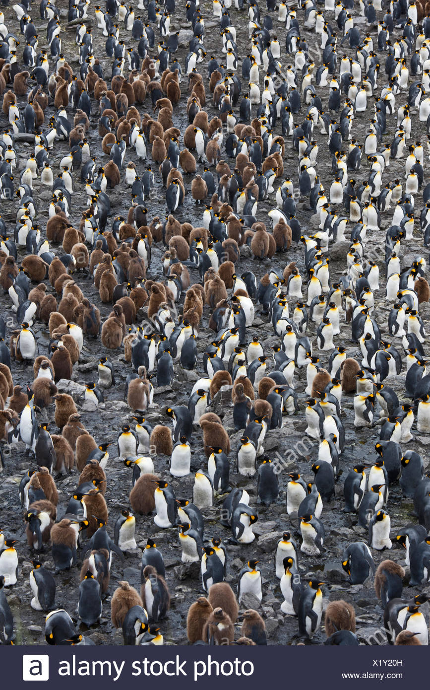 Looking down on the vast King Penguin (Aptenodytes patagonicus) colony at Salisbury Plain on South Georgia.  Estimated breeding - Stock Image
