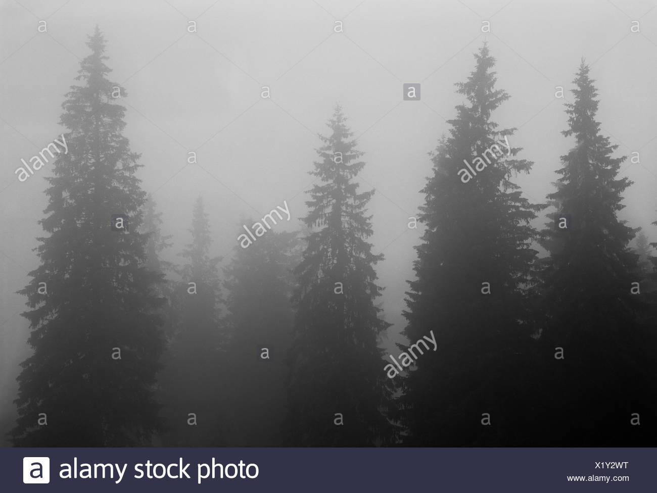 Sweden, Dalarna, Furudal, Picture of forest in fog - Stock Image
