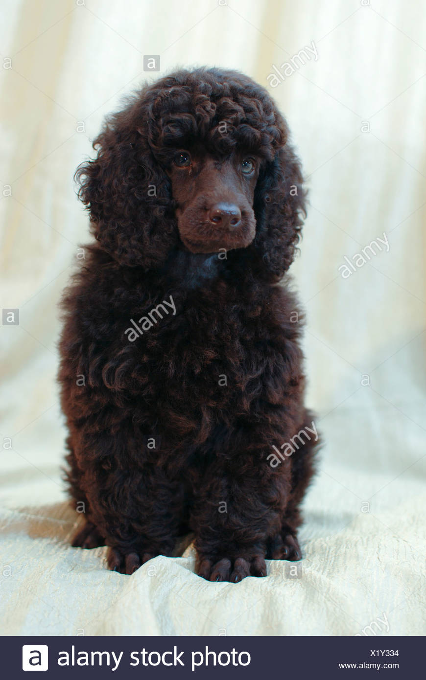 Brown miniature poodle puppy - Stock Image