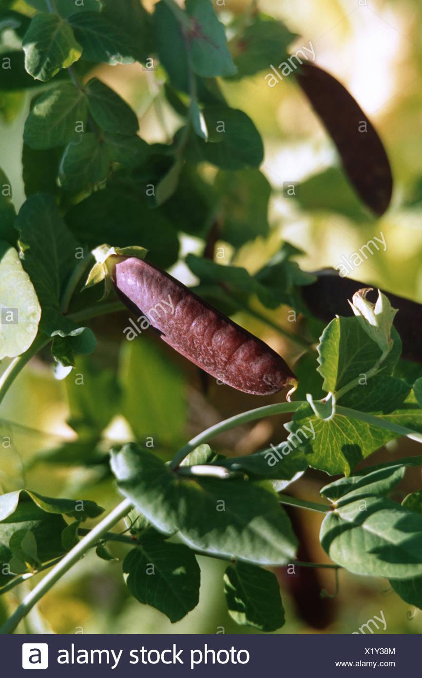 garden pea (Pisum sativum 'Allerfrueheste Mai', Pisum sativum Allerfrueheste Mai), fruit, cultivar Allerfruehest Mai - Stock Image