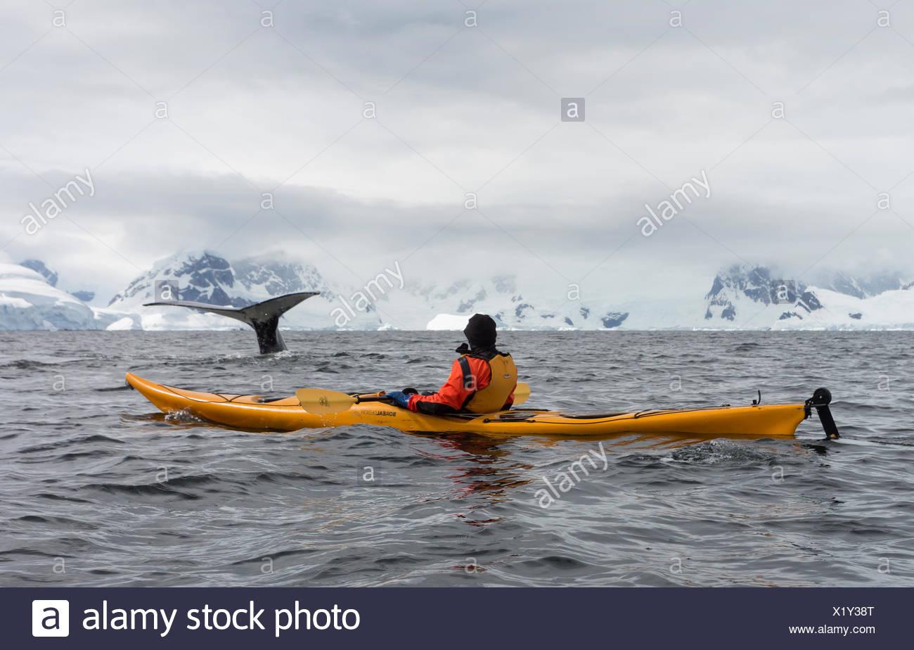 Kayakers encounter feeding Humpback Whales in Wilhelmina Bay, Antarctic Peninsula - Stock Image
