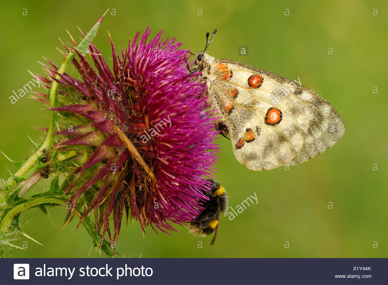 Mountain Apollo (Parnassius apollo) with dewdrops and a bumblebee (Bombus lucorum) on a Spear Thistle(Cirsium vulgare) Stock Photo