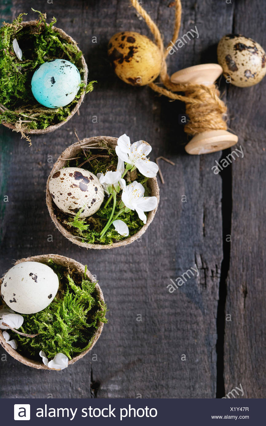 Decor colorful Easter quail eggs with spring cherry flowers, moss, spool of thread in small garden pots over old wooden background. Dark rustic style. - Stock Image