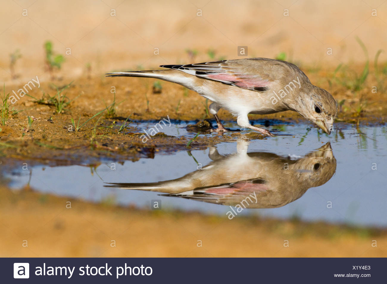 Desert Finch (Carduelis obsoleta) near a puddle of water in the Negev desert, israel - Stock Image