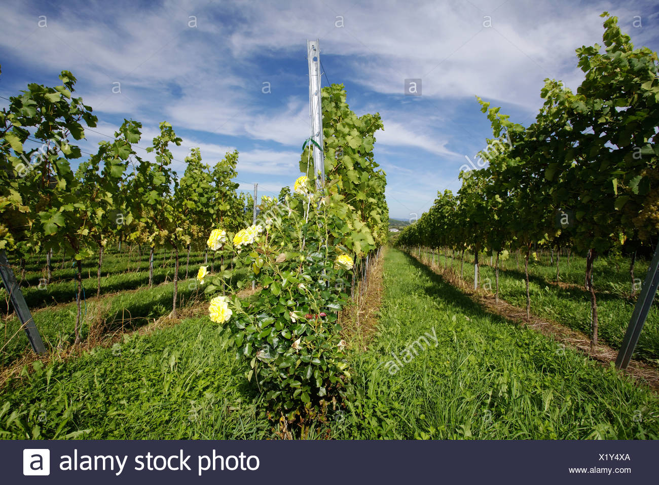 Rose bushes, planted to indicate fungal infestation at an early stage, organic wine growing, Staufen im Breisgau - Stock Image