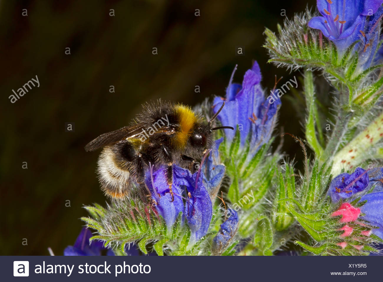 Forest or Four-coloured Cuckoo Bumblebee - Bombus sylvestris - Stock Image