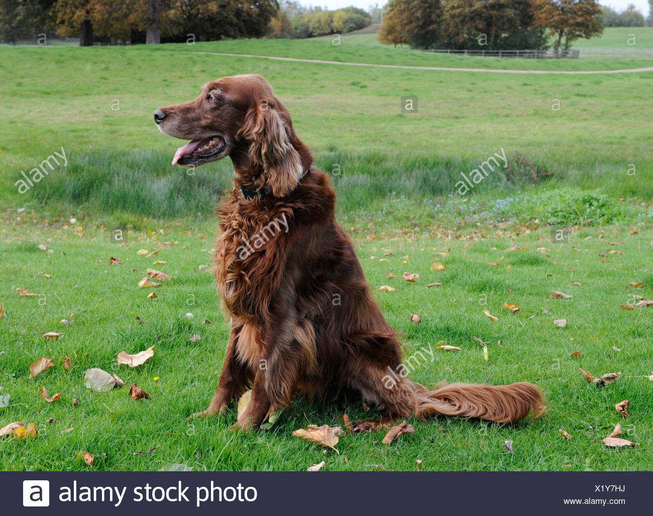 An obedient red setter patiently waiting for instructons - Stock Image