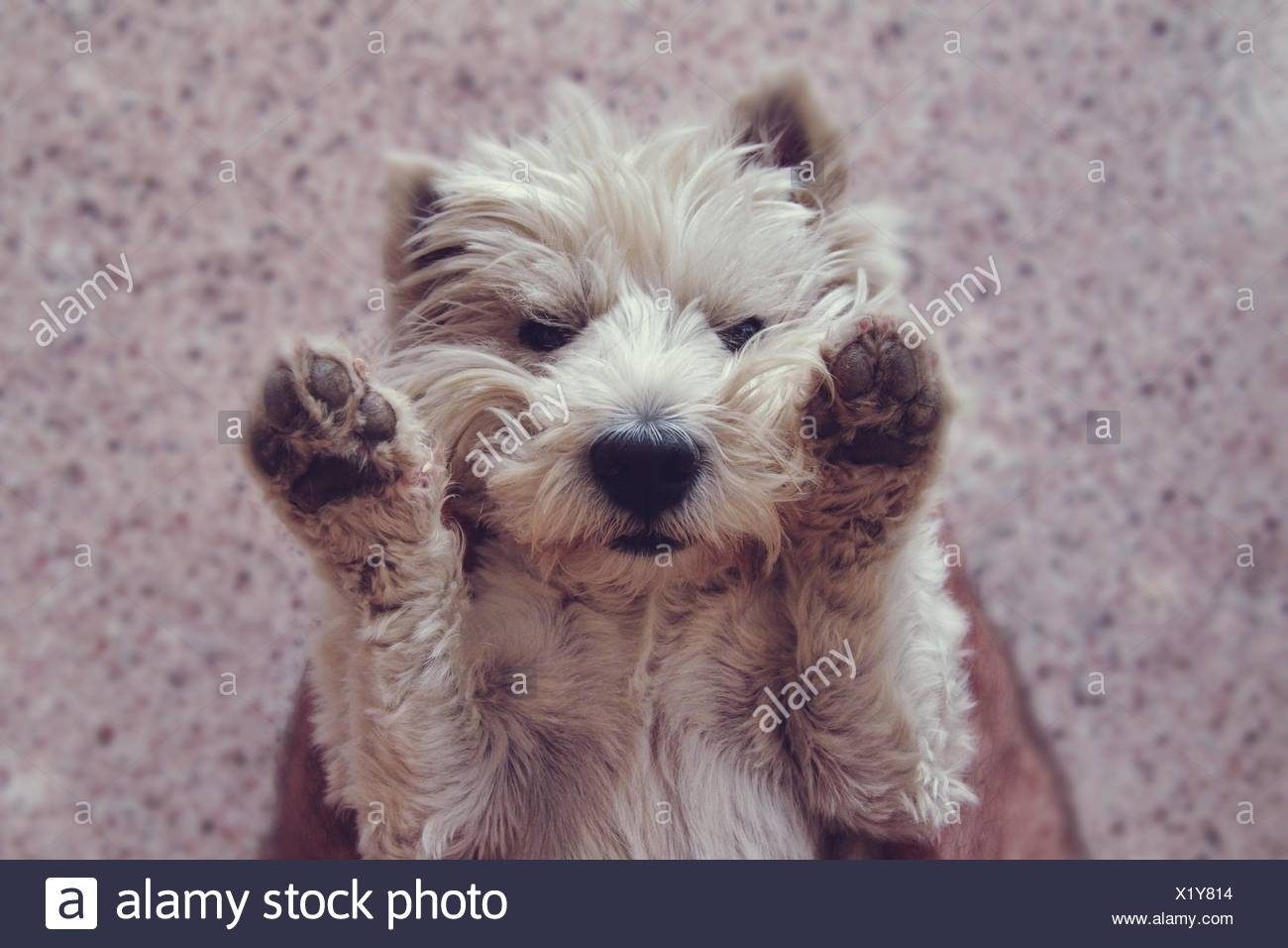 Fluffy Dog Sand With Paws Raised - Stock Image
