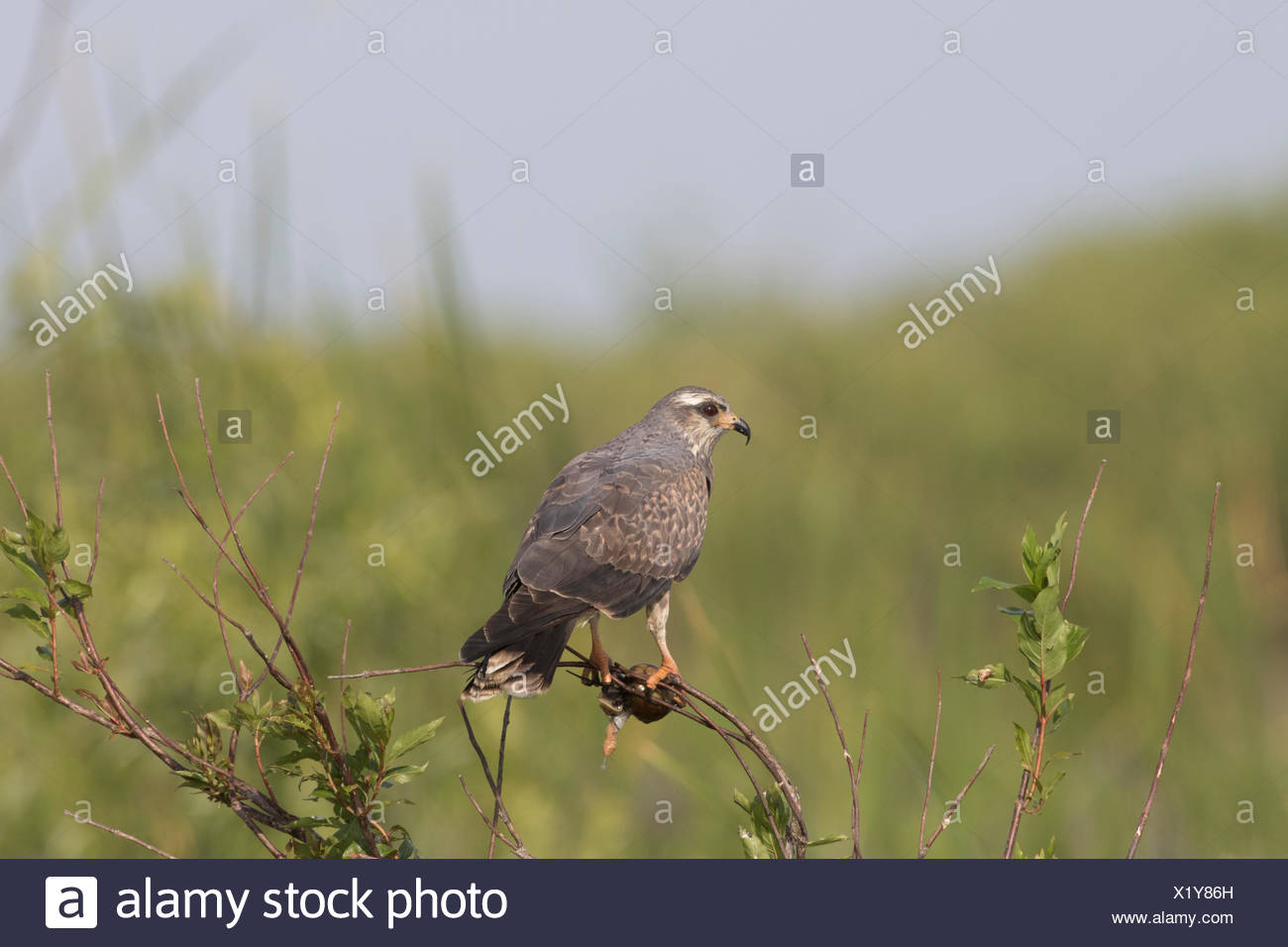 Snail kite (Rostrhammus sociabilus) clutching an Apple Snail, found in US only in southern Florida where it lives almost exclusively on a diet of Apple Snails. Shore of Lake Kissimmee, Florida, USA. - Stock Image