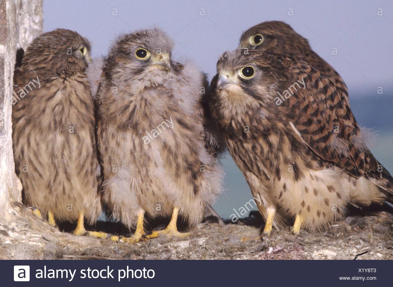 Kestrels (Falco tinnunculus), nearly fledged young falcons, Allgaeu, Bavaria, Germany - Stock Image
