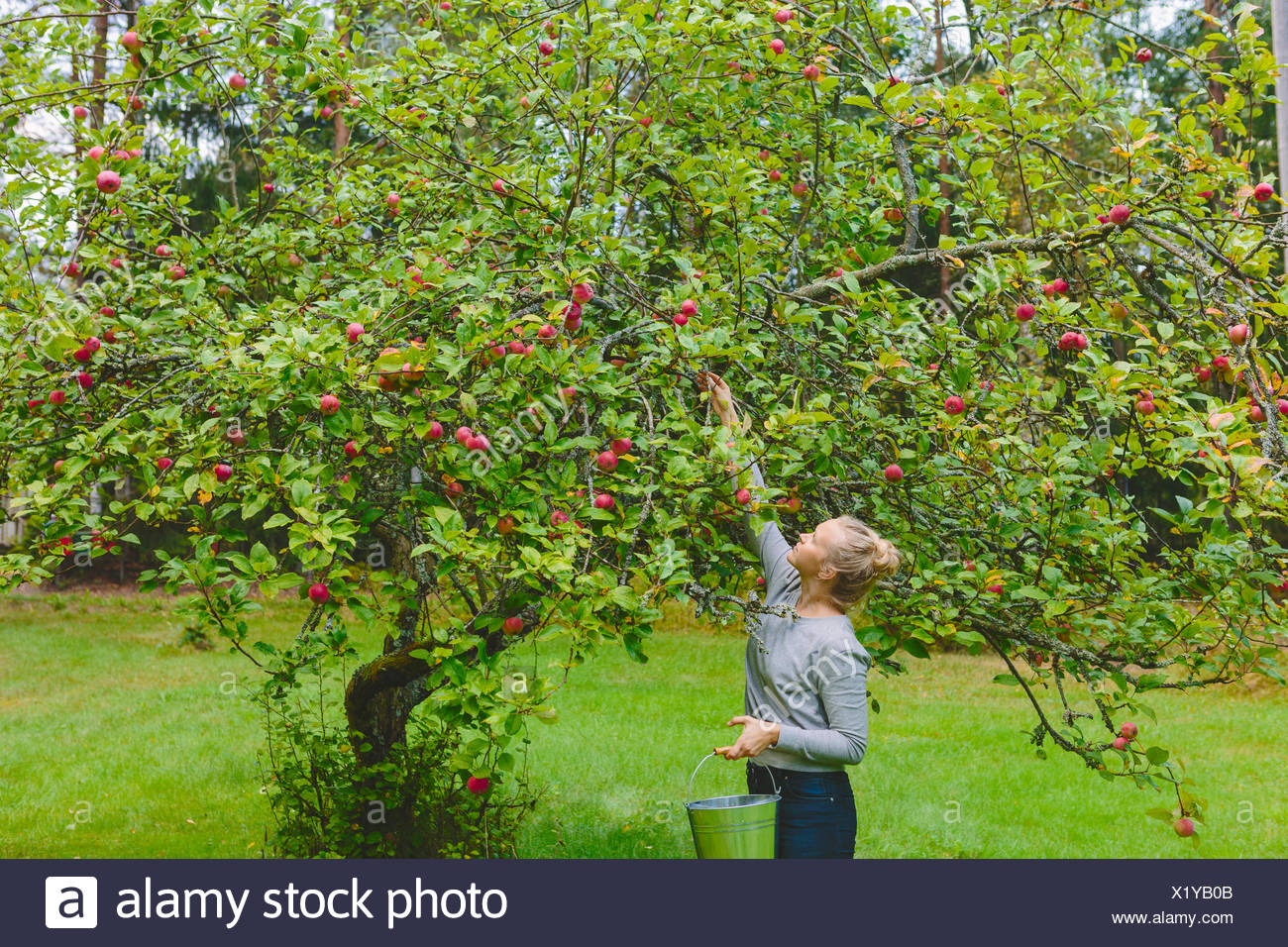 Finland, Uusimaa, Sipoo, Woman picking apples from tree - Stock Image