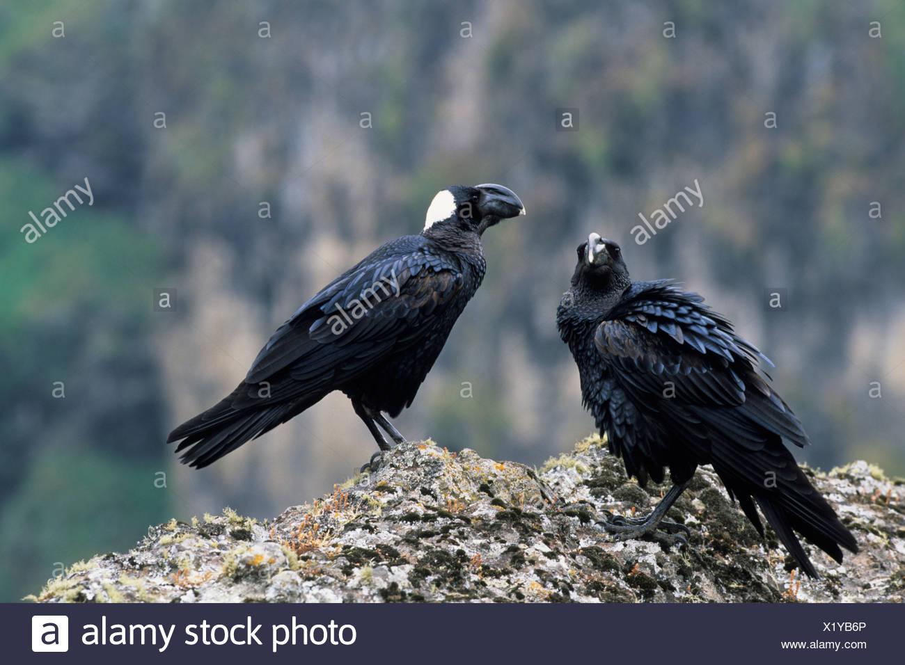 thick-billed raven (Corvus crassirostris), couple, Ethiopia, Simien Mountains National Park - Stock Image