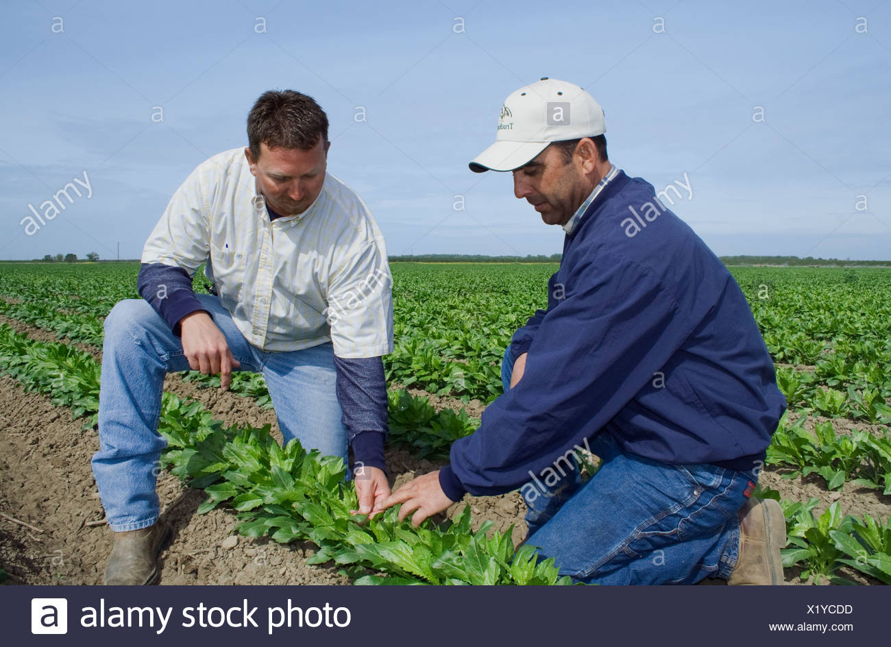 Agriculture - A grower and commodity broker in the field inspecting a crop of early growth safflower / McArthur, California, USA - Stock Image