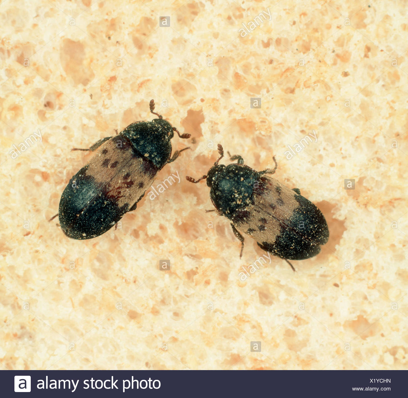 larder beetle dermestes lardarius stored product pest on bread