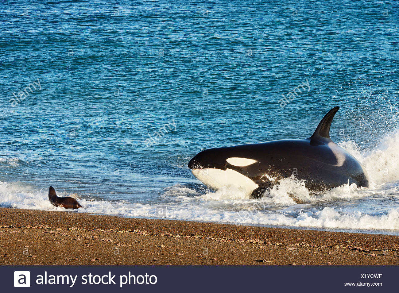 Orcas predating on fur seal pups at Punta Norte in Argentina (Patagonia). The behavior is unique the the orcas that live in this region. - Stock Image