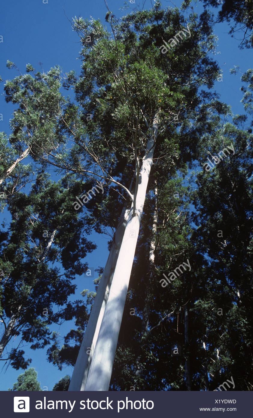 30 metre high Eucalyptus grandis trees in a forestry plantation in South Africa - Stock Image