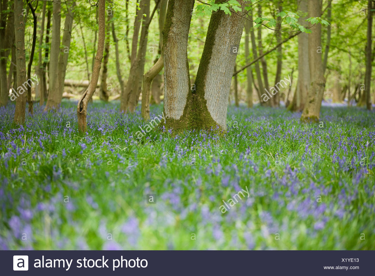 A bluebell wood in spring - Stock Image