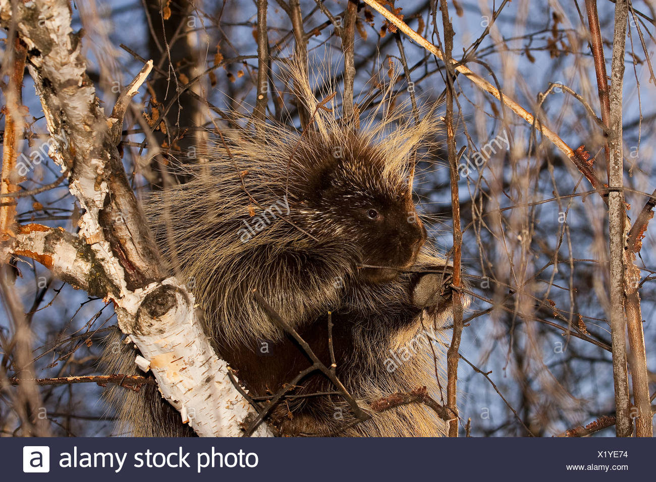 North American Porcupine, Erethizon dorsatum, near Edemonton, Alberta, Canada Stock Photo