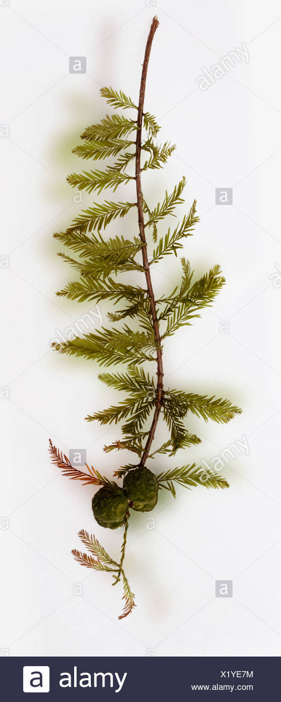 Yew branch on white background - Stock Image