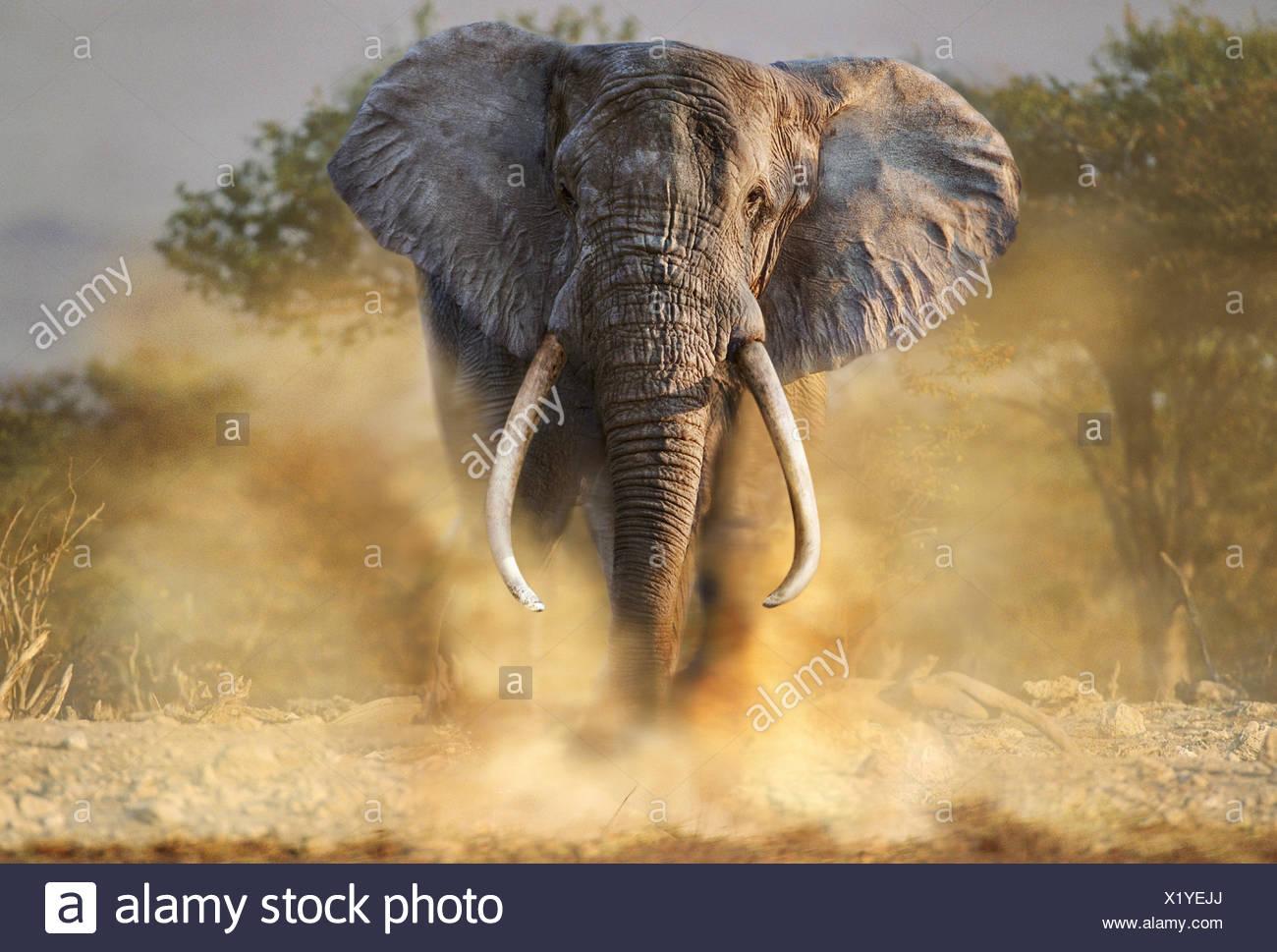 Charging African elephant - Stock Image