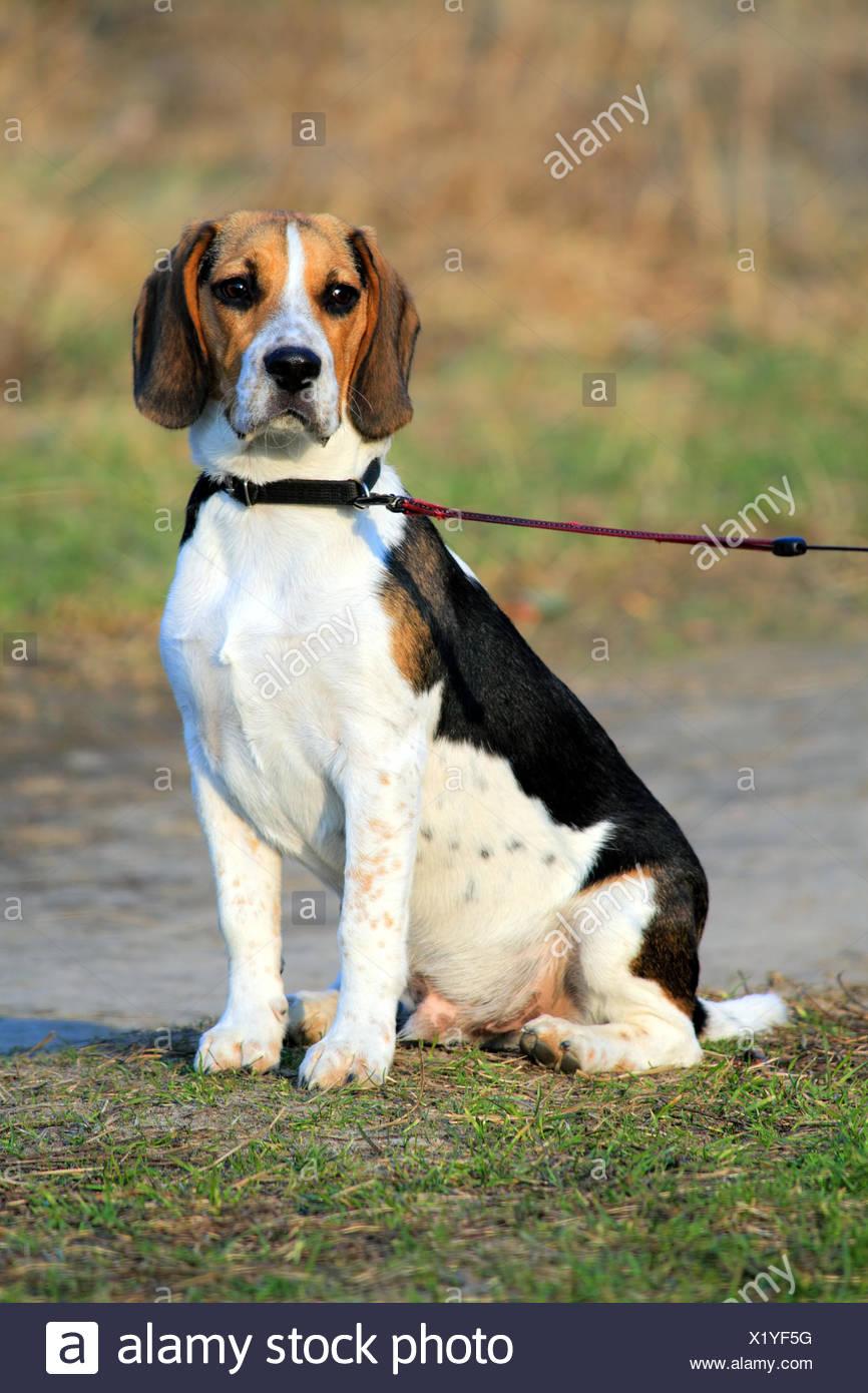 Cute Tri Colored Beagle Puppy Sitting In A Park Stock Photo Alamy