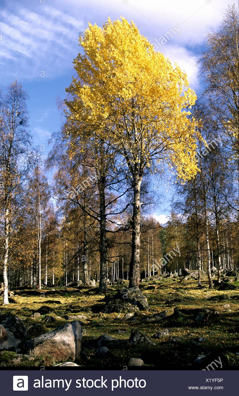 trees Dalarna autumn broad-leaved trees Populus tremula Sweden Europe stones clouds weather aspen - Stock Image