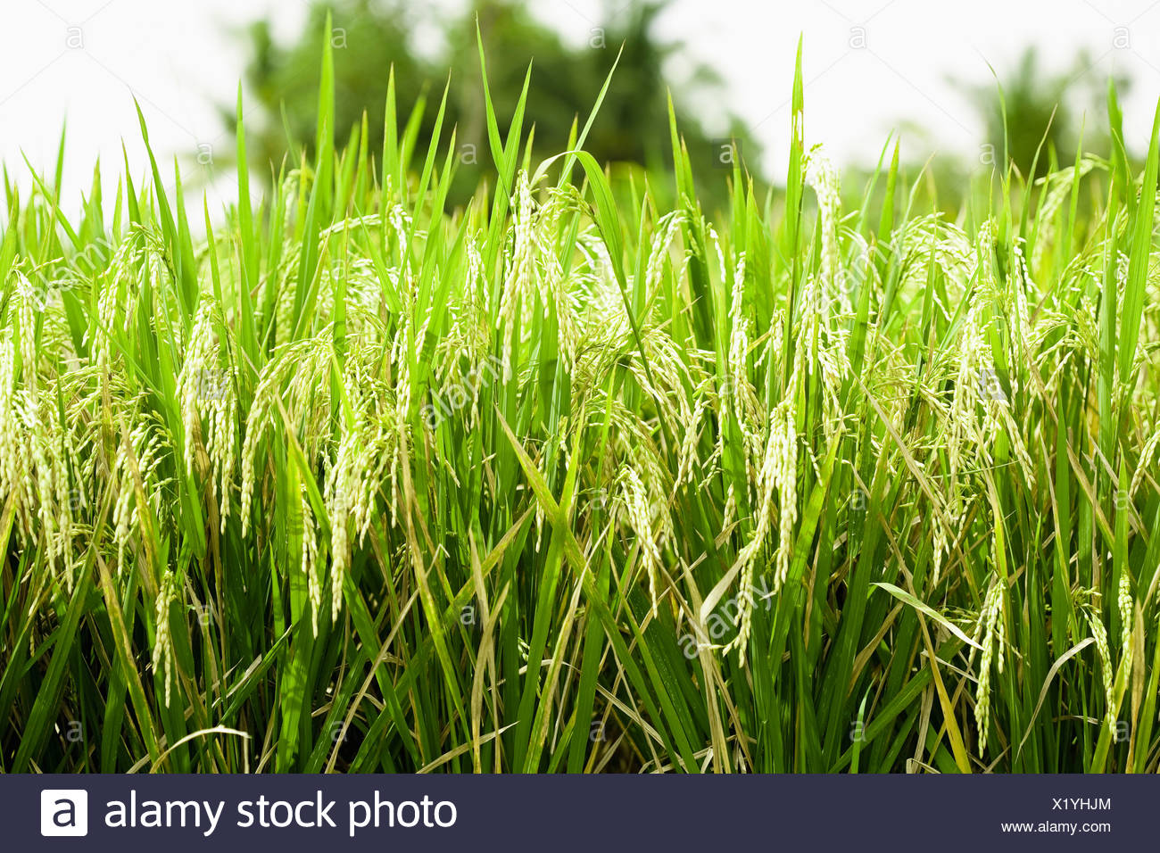 Asia, Indonesia, Bali, Blades of grass, close-up - Stock Image
