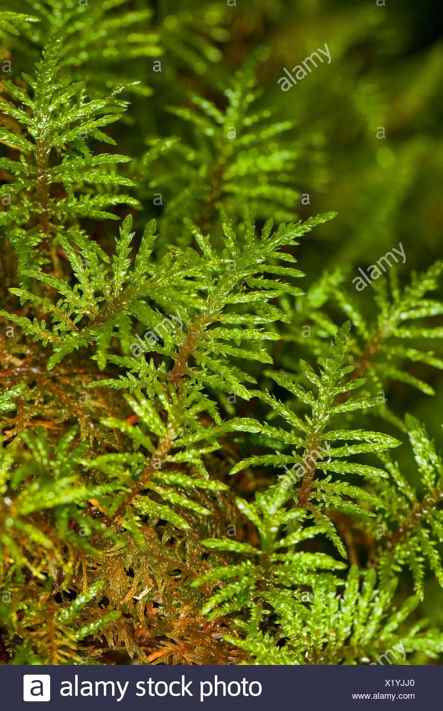 Glittering Wood-moss, Stair-step Moss, Stair Step Moss, Step-moss, Mountain Fern Moss, Fern-Moss (Hylocomium splendens, syn. Hylocomium proliferum), Germany - Stock Image