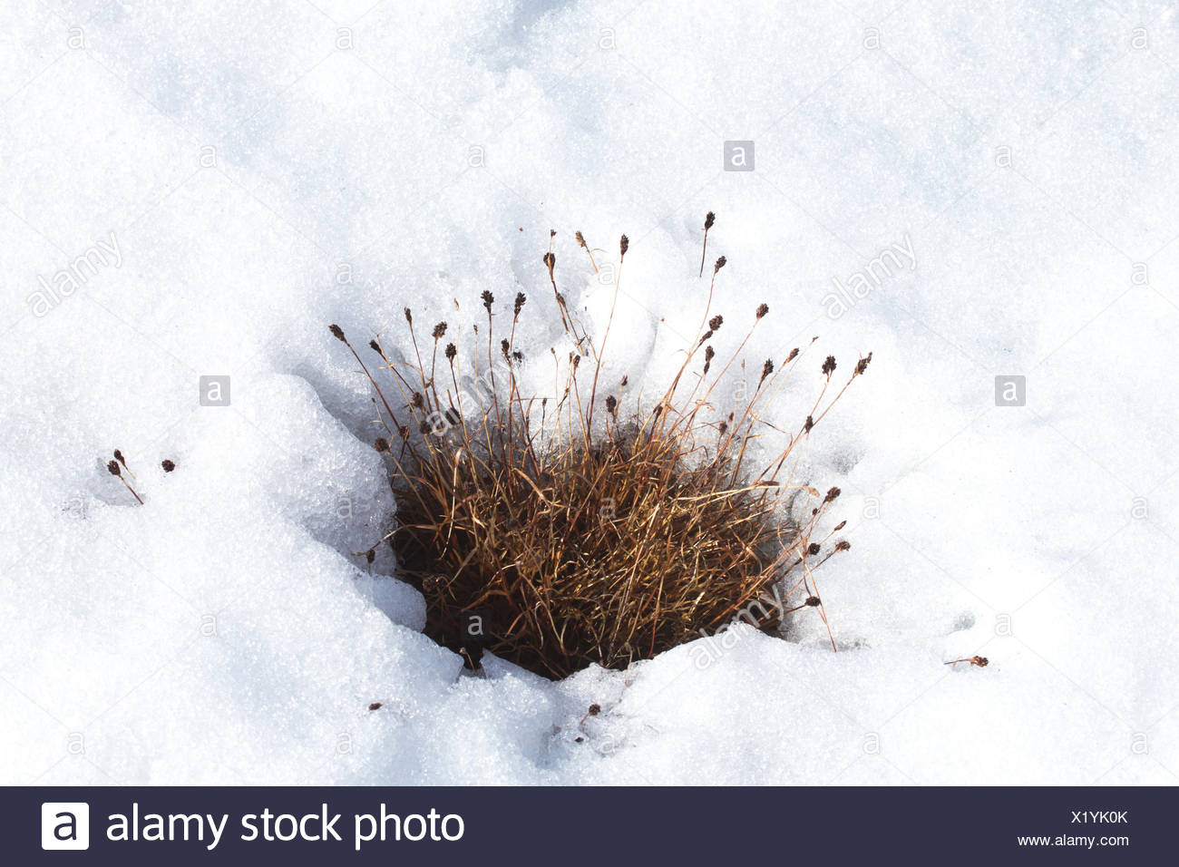Last year's grasses peek through the melting snow in the brief spring on Spitzbergen Island. - Stock Image