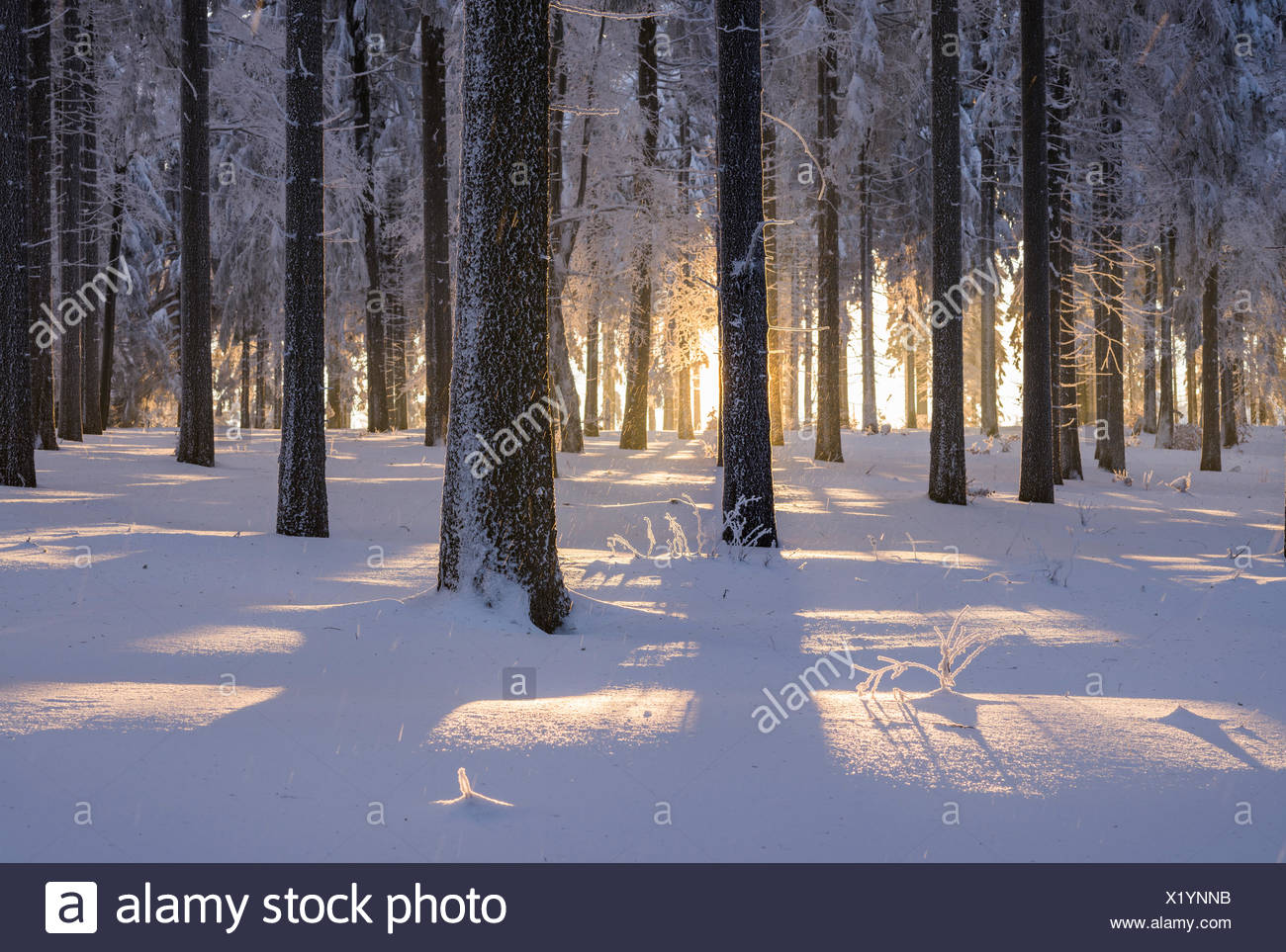 Snowy Norway spruce (Picea abies) forest at sunset, Thuringian Forest, Thuringia, Germany - Stock Image