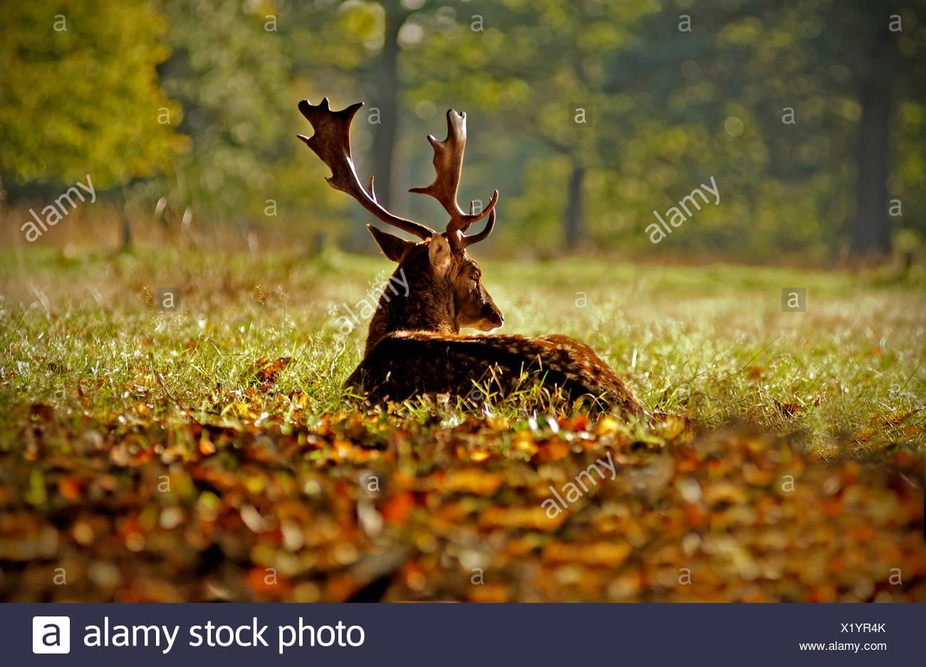 Deer relaxing in grass - Stock Image