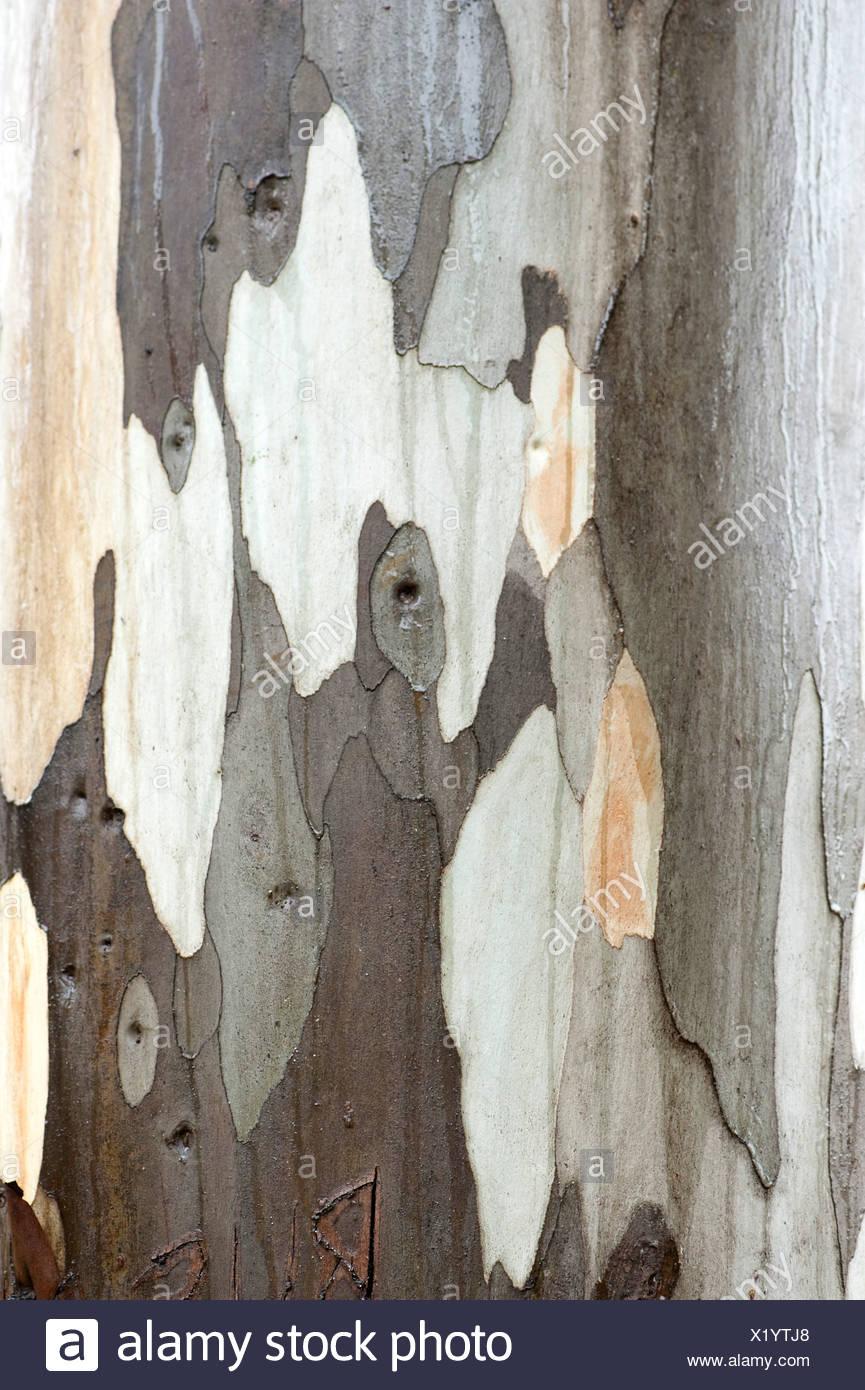 Close up of Eucalyptus Tree Bark Andalucia Spain Stock Photo