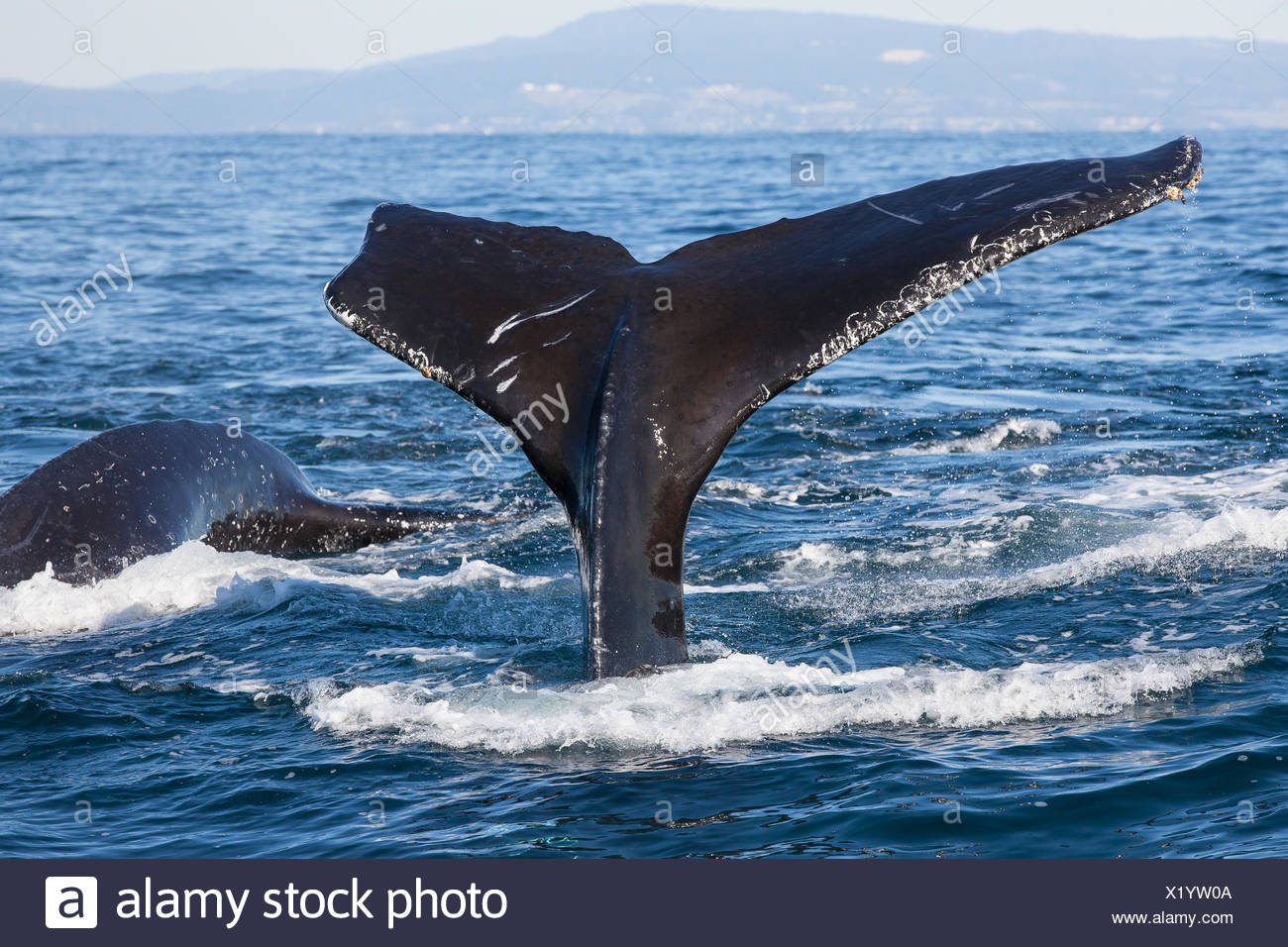 Humpback whales, Megaptera novaeangliae, diving for anchovies. - Stock Image